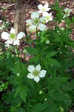 Tall Thimbleweed (Anemone virginiana), VT June-July. Dry open woods