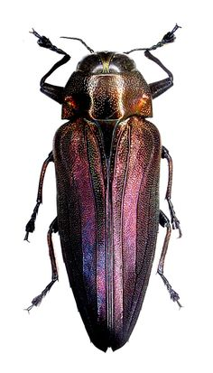 beetle~~ ~Belionota fulgidicollisi a genus of ~~beetles ~~in the family Buprestidae, containing the many species: Beetle Insect, Beetle Bug, Beautiful Creatures, Animals Beautiful, The Beetles, Spiders And Snakes, Cool Bugs, Carapace, Beautiful Bugs