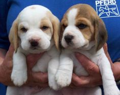 #vetsSheppey Beagles are active companions for kids and adults alike.