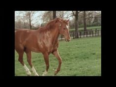 """Secretariat in Retirement - one of the loveliest videos ever of """"The Horse that God Built."""" YouTube"""