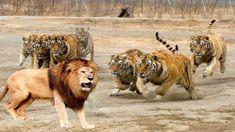 LİON vs TİGER Real Fight ►► Elephant Hippo Leopard Wild Boar Crocodile B...