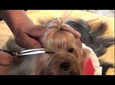 Yorkshire Terrier Show Grooming -Part 2 of 2 - Show Prep