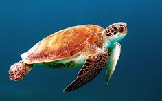 A beautiful turtle floats in deep sea water. The turtle is very beautiful to look at. The turtle is floating in the water with another beauty. Tier Wallpaper, Animal Wallpaper, Frog Wallpaper, Ocean Wallpaper, Wallpaper Pictures, Giant Sea Turtle, Sea Turtles, Ocean Turtle, Turtle Day
