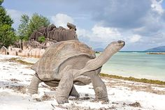 Seychelles- home of this awesome giant tortoise.