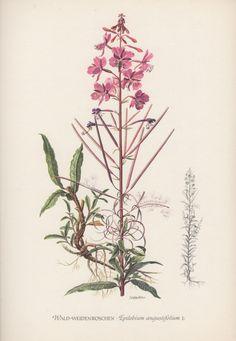 Vintage Botanical Print, Epilobium angustifolium, Chamerion angustifolium, Fireweed, rosebay willowherb. Flower lithograph illustration