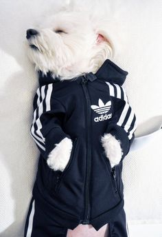 This little Westie did not realize wearing his track suit while sleeping would expose his mob ties