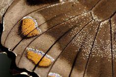 Resultado de imagem para Lepidoptera wings vein