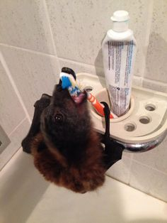 A Fruit Bat Attempting to Brush it's Teeth. Cute Funny Animals, Cute Baby Animals, Animals And Pets, Beautiful Creatures, Animals Beautiful, All Bat, Bat Flying, Baby Bats, Fruit Bat