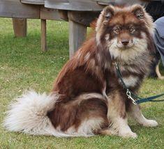 ~  Finnish Lapphund, Infindigo Tuisko Usko (male, brown wolf sable)