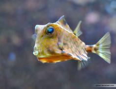 Humback Turretfish