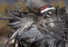 Kraanvogel in Zweden gefotografeerd door Alexander Myklebust.