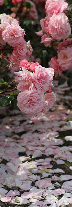 Pink roses...nothing more delightful than full blown pink roses!