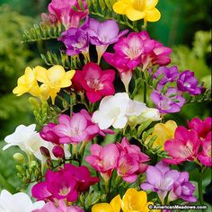 Freesia is a beautiful, elegant, fragrant scented bell shaped flower. This colorful mixture of purple, white, yellow and pink is prefect to cheer up any garden space. Excellent for cut flowers and container gardening. Freesia is best suited for warmer cl Freesia Flowers, Bulb Flowers, Herbaceous Perennials, Flowers Perennials, Planting Bulbs, Planting Flowers, Container Plants, Container Gardening, American Meadows