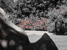 Natural landscaping ideas. Black and white. Red roses.
