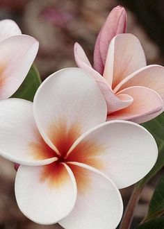 Plumeria by James Steele More