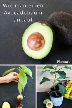 Avocadobaum anbauen - eine Anleitung, wie man einen Avocadokern einpflanzen kann! #Avocado