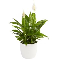 Fredslilje renser luft,tåler skygge The Secret Garden, Indoor Plants, House Plants, Pop Up, Planters, Tropical, Terrariums, Interior, Inside Plants