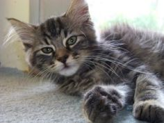 Maine Coon Kittens is an adoptable Maine Coon Cat in Wirtz, VA. Sweet Sweet Kittens...there are 2.. call for details... We have lots and lots of kittens of all kinds!!...