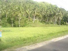Coconut plantation in Mobo Masbate