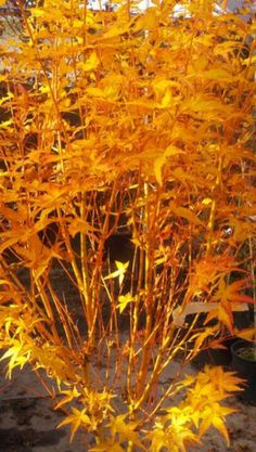 Bihou Japanese maple : Bihou exhibits outstanding winter interest with an unusual, golden-yellow, peach-colored bark. Sunlight and cooler temperatures bring the exposed winter bark to life. Can be used in a grouping with other coral bark maples or against a brick backdrop to show off the bark