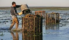 A Goose Point Oyster Co. worker at low tide out on an oyster bed in Willapa Bay harvests oysters.