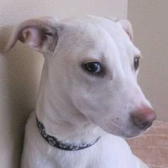 Almond is looking for a mature and active family to #adopt her. She enjoys snuggling and being pet. #dog #SanDiego