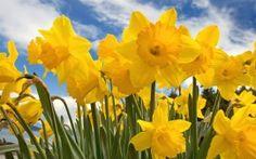 WALLPAPERS HD: Sunny Daffodils