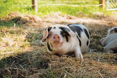 Wallow around with these five heritage hog breeds.