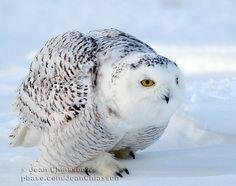 """Résultat de recherche d'images pour """"harfang des neiges"""""""