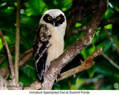 immature spectacled Owl