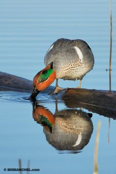 Green-wing teal photo a winner for Marchel | Outdoors with Sam Cook