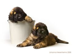 Leonberger puppies from the past. 2008. Isilon kennel.
