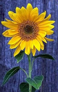 ♥ blue & ♥ sunflower ♥ pic