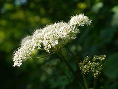 ForageFriday - Common Hogweed or Fools Asparagus - Essential Magazine
