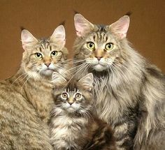 The Maine Coon Family ‐ It's like an 80's family photo where everyone has THE HAIR!!!