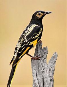 The Regent Honeyeater (Anthochaera phrygia) is a critically endangered bird.