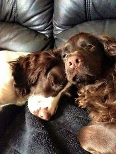 Sleepy Puppy falls asleep on baby - Furry 'N Cute Cute Dogs Breeds, Best Dog Breeds, Best Dogs, Springer Spaniel Puppies, English Cocker Spaniel, Spaniel Breeds, Tallest Dog, Cockerspaniel, Dogs And Puppies