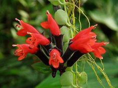 Flor batom - Aeschynanthus radicans