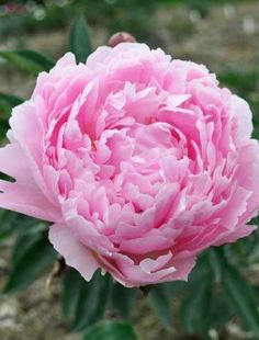 Beautiful tight, round, powder puff-like flowers of soft pure pink. Pink Peonies Blog, Peonies Bouquet, Pink Flowers, Beautiful Flowers, Claire Austin, Peonies Centerpiece, Herbaceous Perennials, Peonies Garden, My Secret Garden