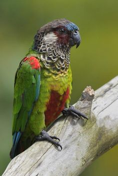 """Painted Parakeet (Pyrrhura picta) """"It is restricted to forests in northern South America (north of the Amazon River) and Panama."""" There are six subspecies of this conure. (Wikipedia)"""