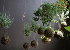 Kokedama is the method of growing plants in a ball of moss covered soil.