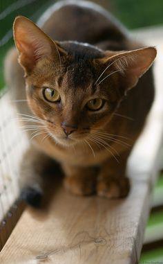 Lennon, abyssinian cat
