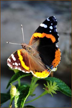 Red Admiral Butterfly -- A mutation perhaps? -- The wings on the two sides are differently colored