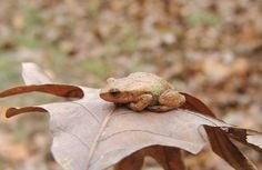Signs of spring: when the ice melts, spring peepers emerge and sing their song all across New England. Have you heard the peepers yet?