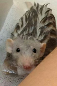 "* * RATTIE: "" Me human takes top care o' me az yoo kin see. She provides luxurious habitats fer us too!"""
