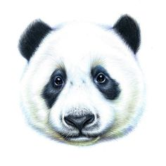 """""""Young Panda Baby - done in faber-castell polychromos"""