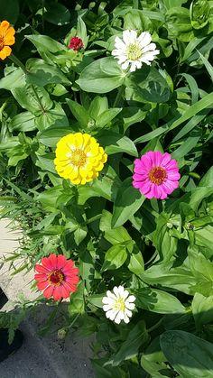 Zinnias, Flowers, Plants, Florals, Planters, Flower, Blossoms, Plant, Planting