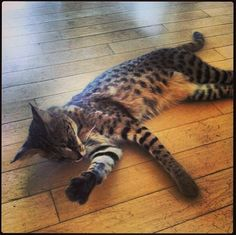 Savannah cat, cat,