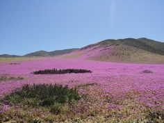 The Atacama Desert, one of the driest places on Earth, has exploded into a riot of color thanks to a rare spring flower bloom. Flower Landscape, Landscape Photos, Desert Flowers, Wild Flowers, Rare Flowers, Beautiful Flowers, Wonderful Places, Beautiful Places, Great Pictures