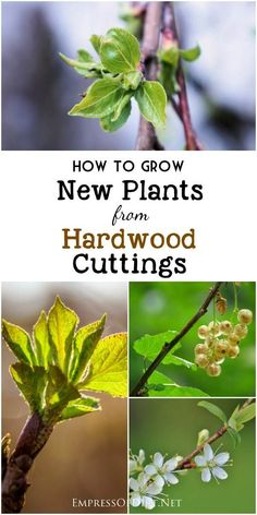 Starting new plants from hardwood cuttings is a slow but reliable way to grow…